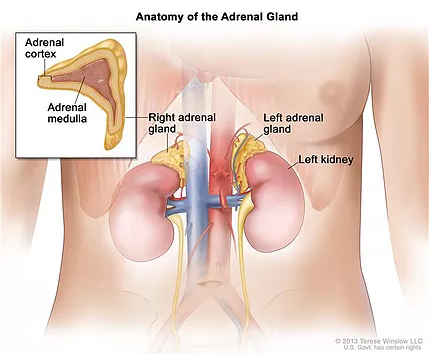 How Are Your Adrenals?